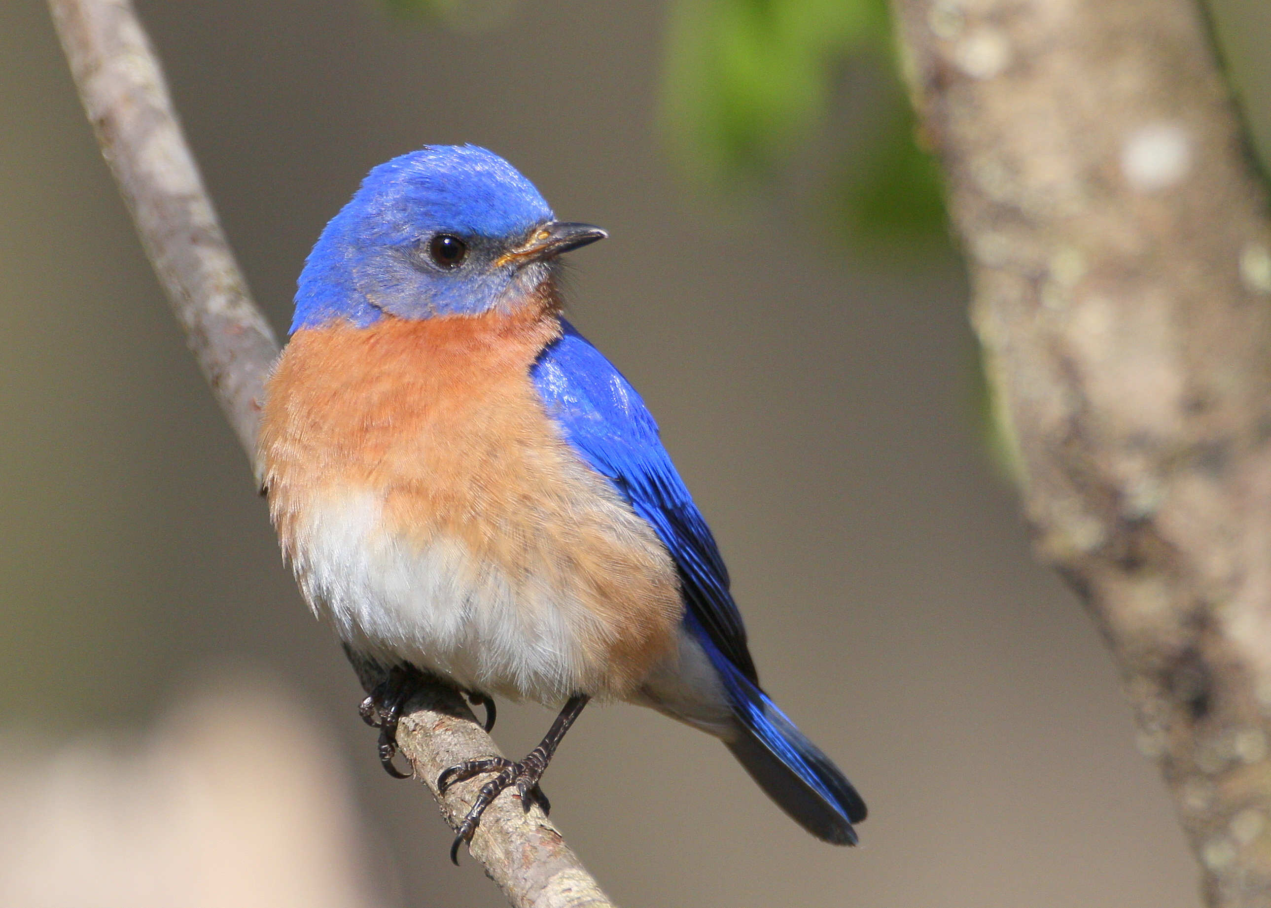 7 best eastern bluebird reference images on pinterest | animals