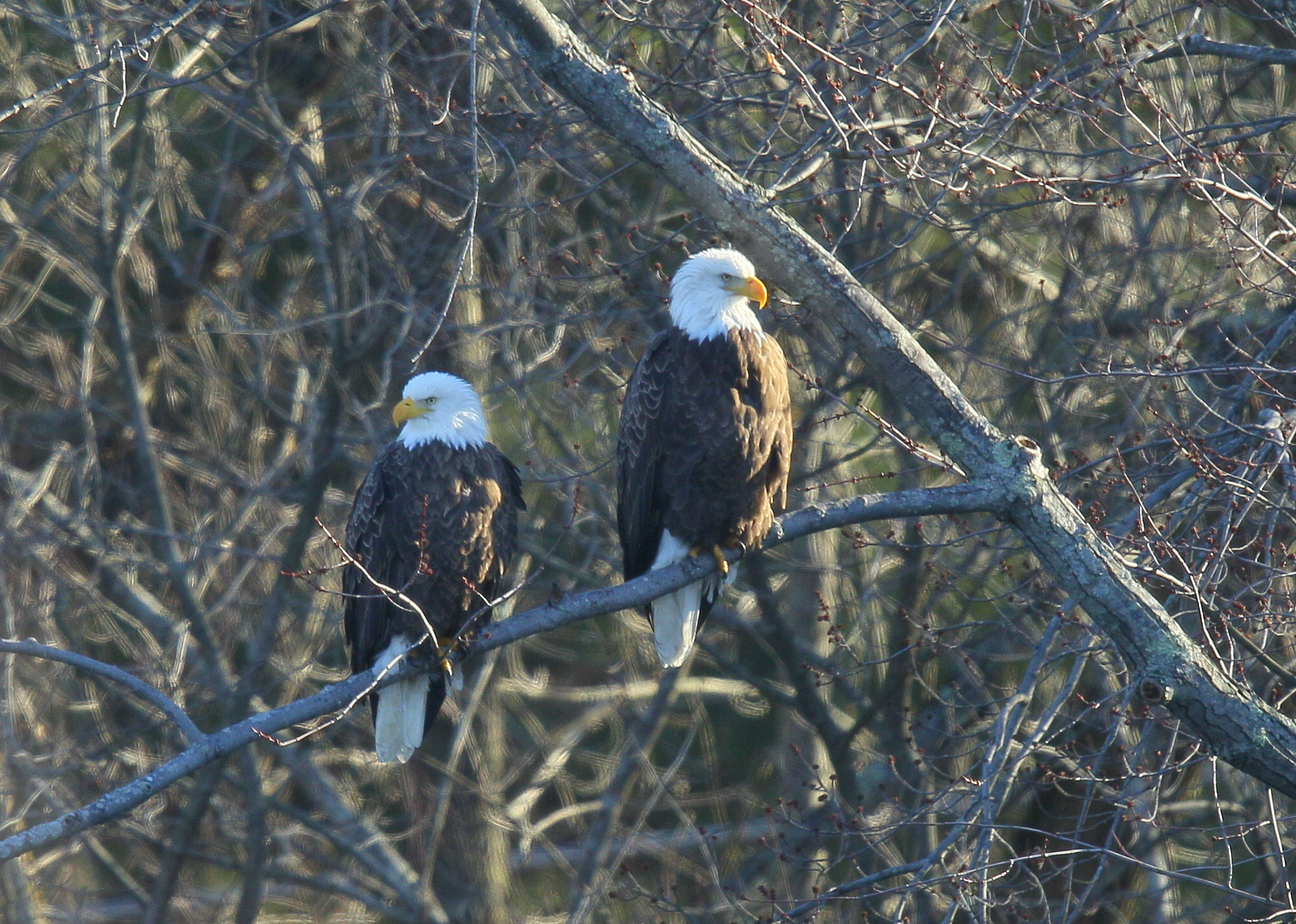 Bald Eagle pair: North Andover