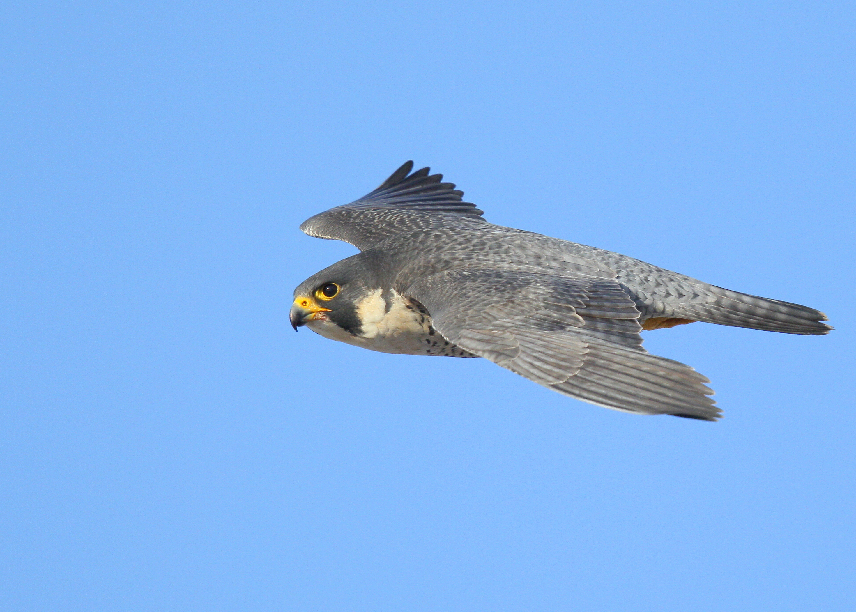 Peregrine Falcon in flight: Lawrence