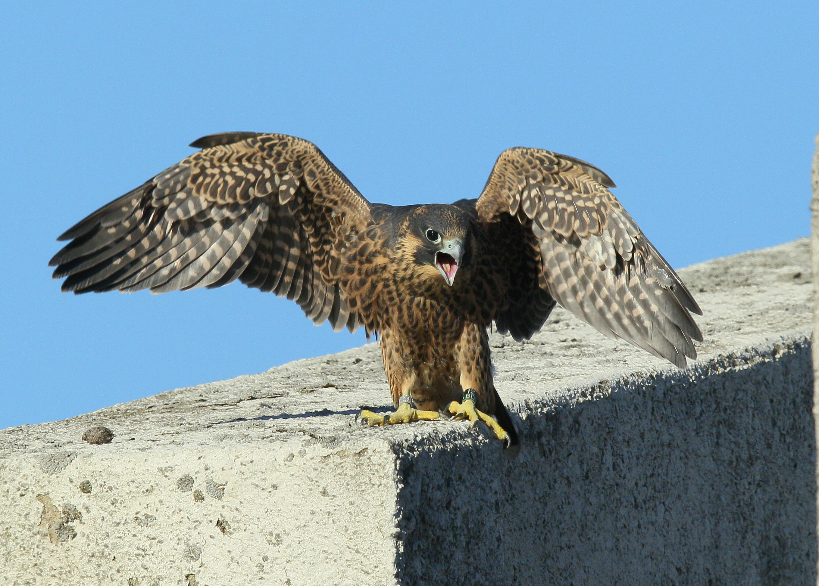 2013: Peregrine preparing for first flight (leg band 12/BD)!
