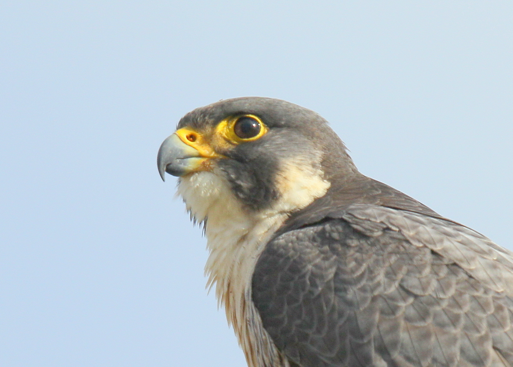 Peregrine Falcon: Lawrence