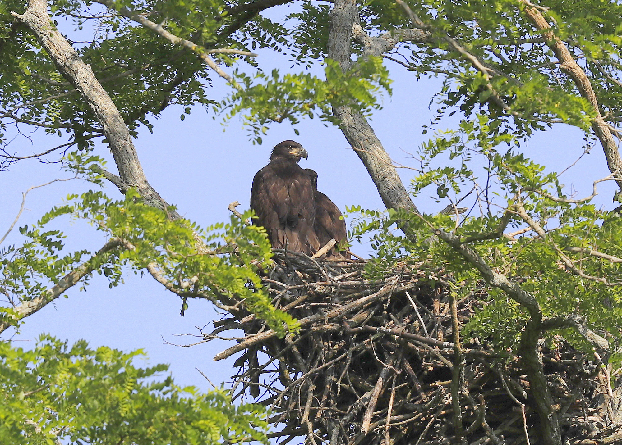 The 3 Bald Eagle chicks continue to grow in size and shape. Adults will  feed their chicks directly until the eaglets are five to six weeks old, ...