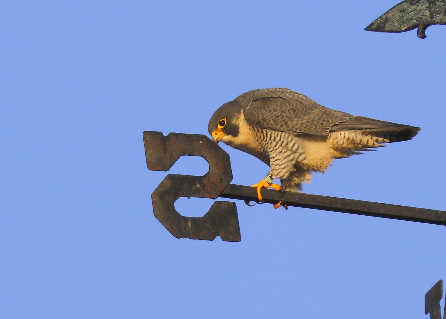 Peregrine Falcons Haverhill | Lawrence Peregrines