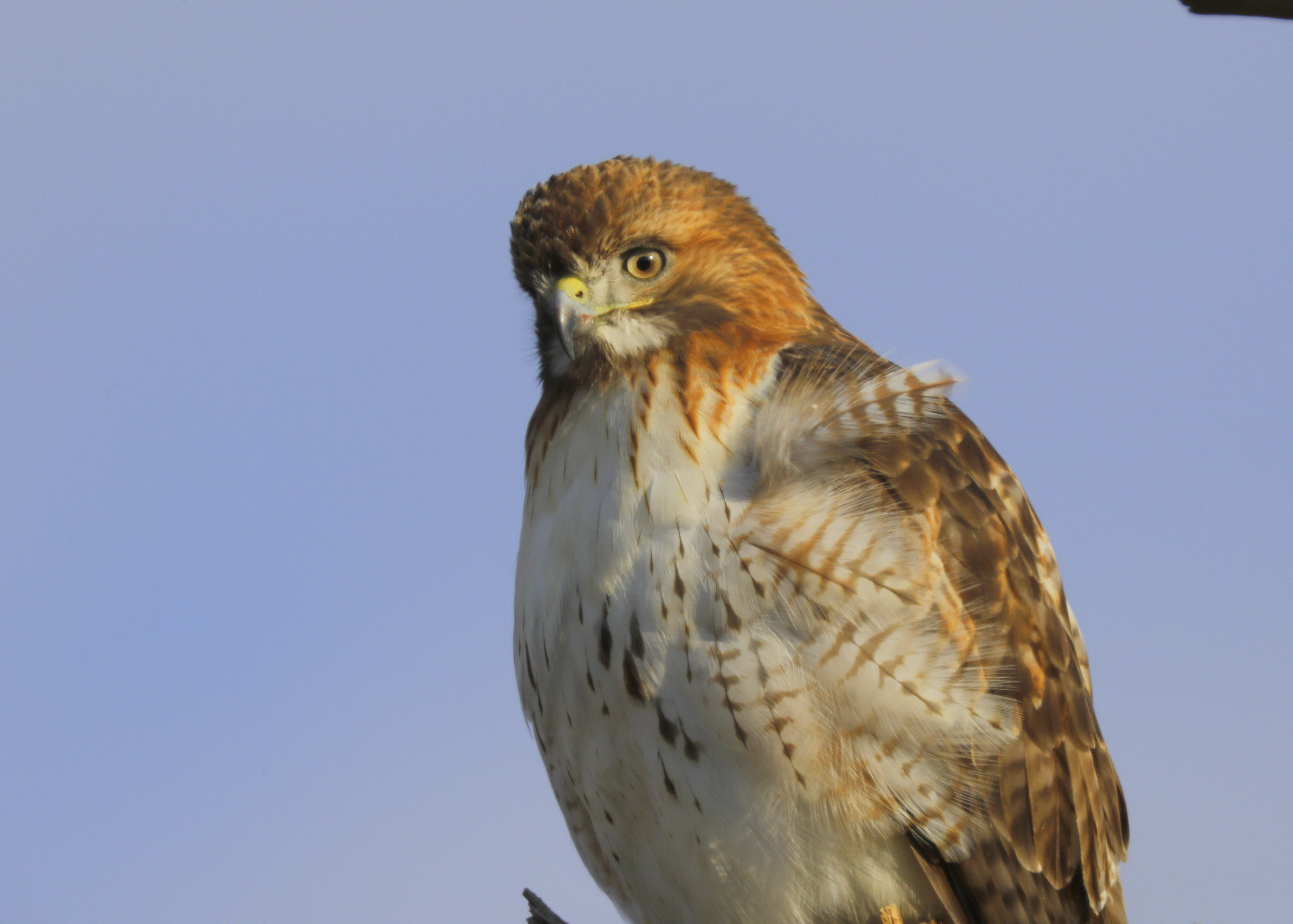 Red Tailed Hawk Essex County Lawrence Peregrines